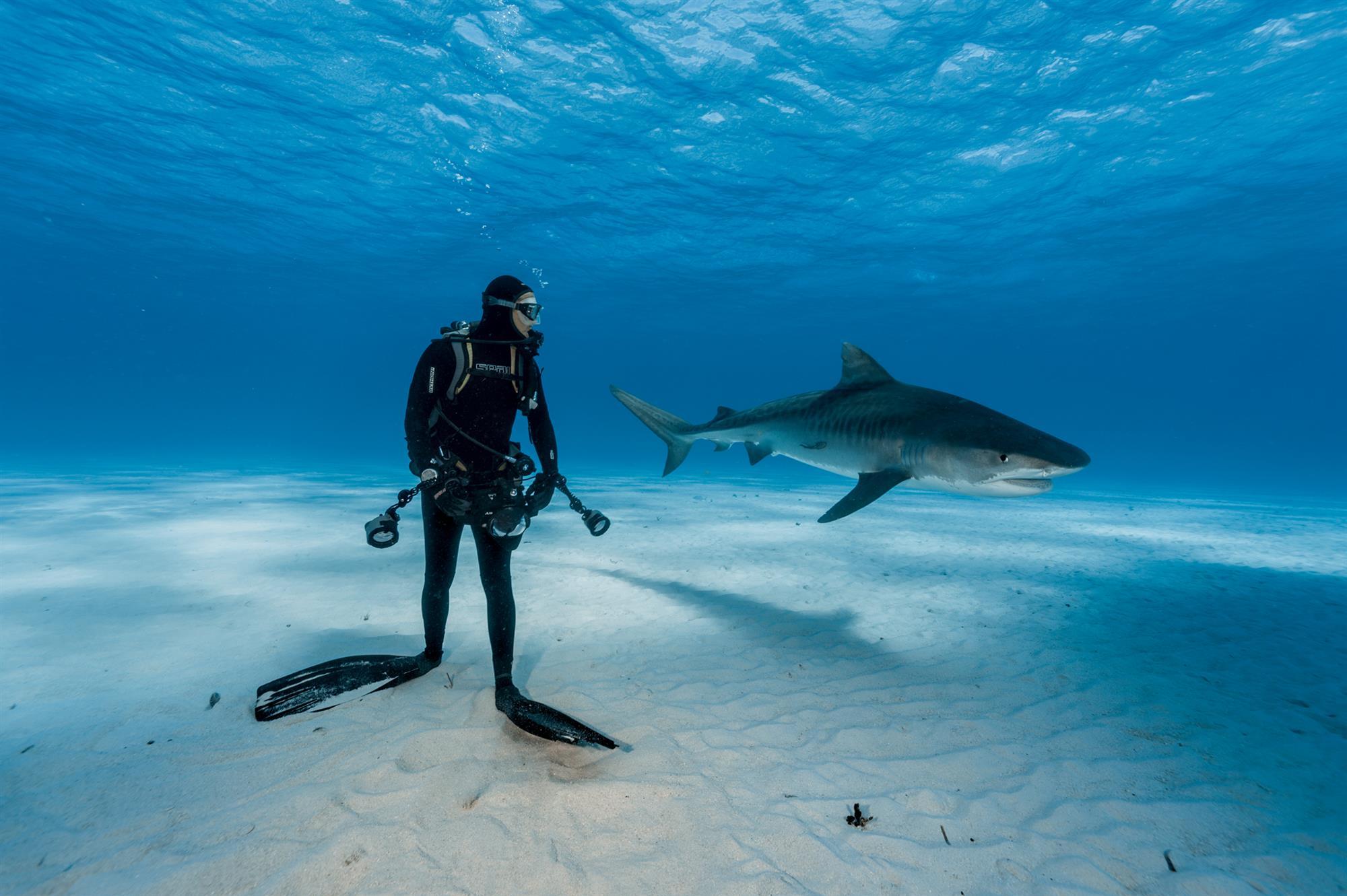 Tiburón tigre al acecho