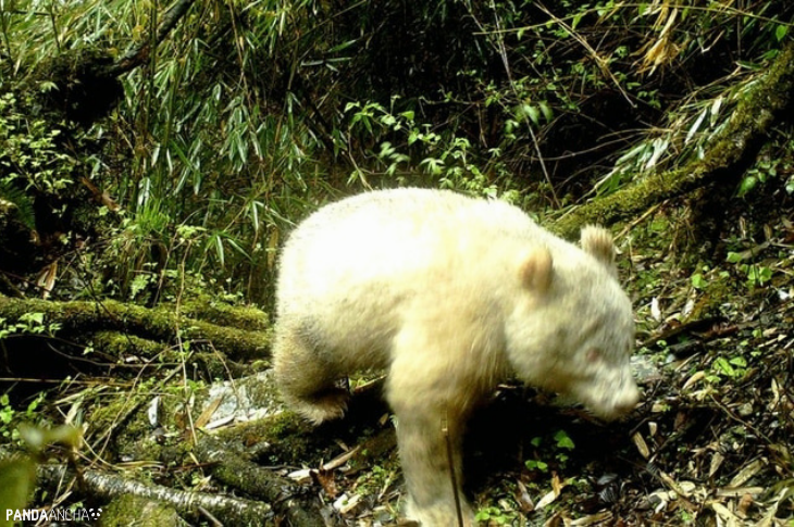 Avistan por primera vez a un panda albino en China